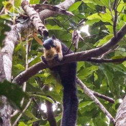 black giant squirrel.