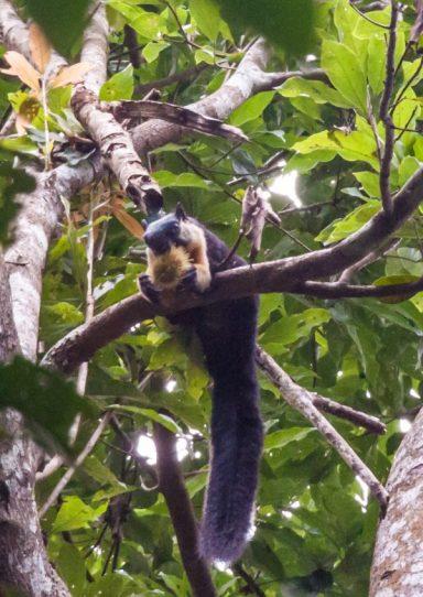 black giant squirrel.